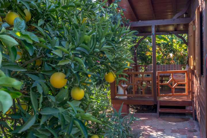 Citrus trees in the garden